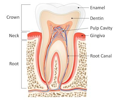 Diagram of how root canal works in High Point NC